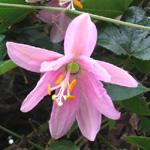 Fleur des Tropiques est une boutique de vente en ligne, située à l\u0027ile de  la Réunion, spécialisée dans la vente de plants et graines de plantes  tropicales,