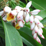 Alpinia zerumbet / Gingembre d'Ornement - lot de 10 graines