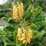 Hedychium gardnerianum / Gingembre d'Ornement - lot de 500 graines