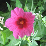 Hibiscus cannabinus / Chanvre de Madras - lot de 10 graines