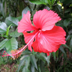 Hibiscus rosa-sinensis / Rose de Chine  - lot de 6 graines