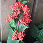 Clerodendrum splendens / Clerodendron rouge - Jeune Plant