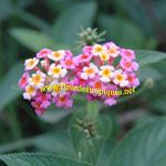 Lantana camara / Galabert - lot de 10 graines
