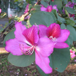 Bauhinia purpurea / Arbre Orchidée - lot de 10 graines