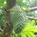 Annona muricata / Corossol - jeune plant