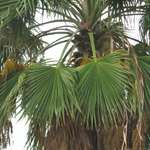 Washingtonia filifera / Palmier Jupon - lot de 200 graines