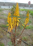 Aloe vanbalenii - lot de 15 graines