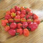 Capsicum chinense / Piment Antillais / Bondamanjack - lot de 100 graines