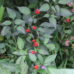Capsicum frutescens / Piment Noir - lot de 10 graines