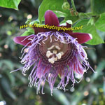 Passiflora quadrangularis / Barbadine - lot de 15 graines