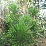 Yucca elephantipes / Pied d'Elephant - lot de 10 graines