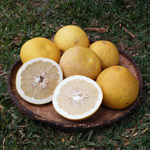Citrus maxima / Pamplemoussier - lot de 6 graines