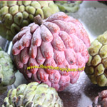 Annona squamosa / Zatte rose - lot de 5 graines