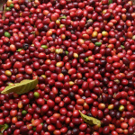 Coffea arabica borbonica / Café Bourbon Pointu  - lot de 10 graines