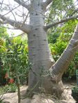 Adansonia digitata / Baobab - lot de 10 graines