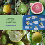 Graines de Citrus / Citronnier - Assortiment de 40 graines