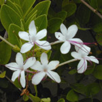 Clerodendrum inerme / Clerodendron blanc - Jeune Plant