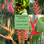 Heliconia en Mélange / Mix - lot de 10 graines