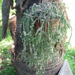 Rhipsalis baccifera-sp. Horrida / Cactus - lot de 10 graines