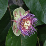 Passiflora maliformis / Coque en Fer - lot de 20 graines