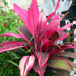 Cordyline terminalis - lot de 20 graines