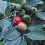 Psidium cattleyanum / Goyavier de Chine - lot de 10 graines