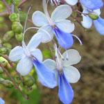 Clerodendrum ugandense / Clerodendron Bleu - Jeune plant