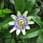 Passiflora caerulea / Passiflore Bleue - lot de 10 graines