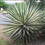 Agave angustifolia