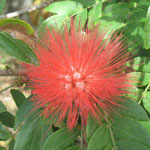 Calliandra hematocephala / Calliandre - lot de 5 graines