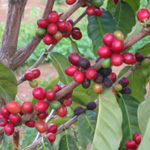 Coffea arabica / Caféier - lot de 10 graines