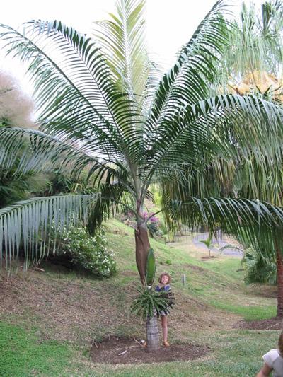dictyosperma album palmier palmiste blanc lot de 10 graines fleur des tropiques. Black Bedroom Furniture Sets. Home Design Ideas