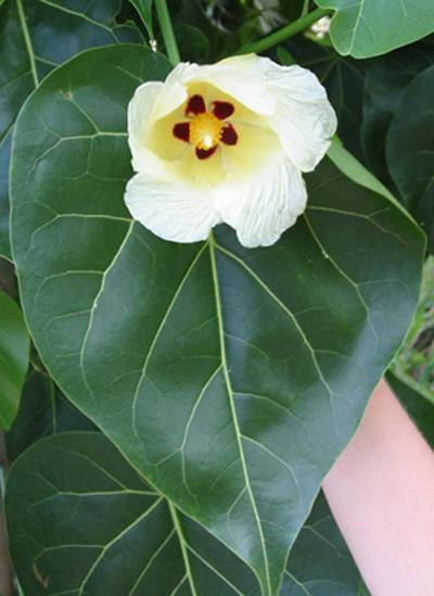 hibiscus populneus lot de 10 graines fleur des tropiques. Black Bedroom Furniture Sets. Home Design Ideas