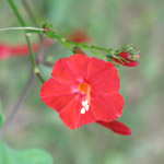 Ipomea coccinea / Volubilis Rouge - lot de 20 graines