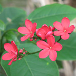 Jatropha integerrima - lot de 5 graines