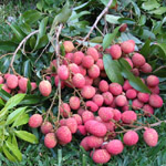 Litchi chinensis / Letchi - lot de 6 graines