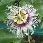 Passiflora edulis / Passiflore / Fruit de la Passion - lot de 100 graines