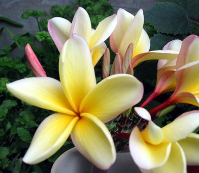 Fleur Des Tropiques Vente De Graines Plantes Tropicales Epices