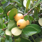 Psidium littorale / Goyavier Blanc - lot de 10 graines
