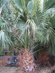 Sabal palmetto  / Palmier de Floride - lot de 10 graines