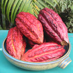 Graines de Cacao disponibles !