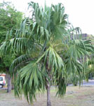 Thrinax radiata / Palmier Balai - lot de 10 graines