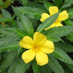 Turnera ulmifolia / Stimulant Naturel - lot de 10 graines